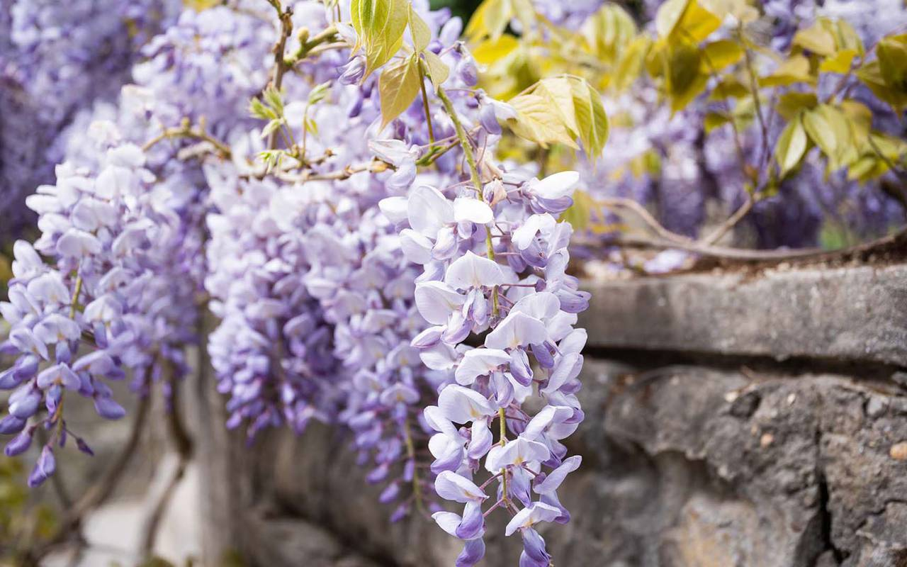 wisteria flowers 4 star hotel dordogne